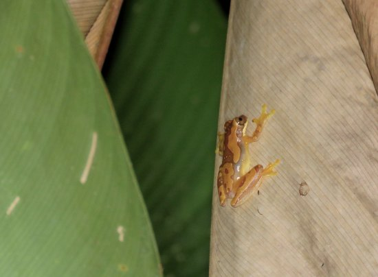 Greentique Costa Rica Tours: Hourglass Frog