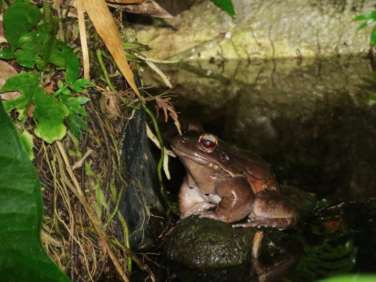 Greentique Costa Rica Tours: Bull Frog