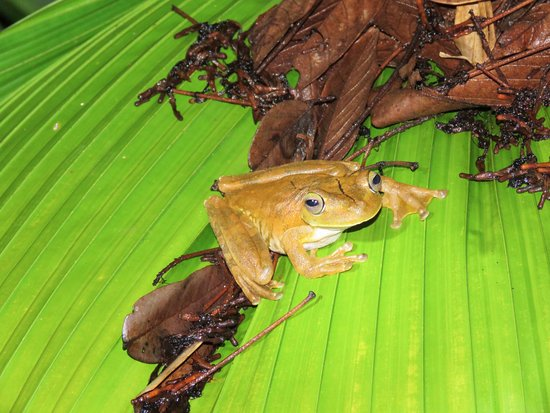 Greentique Costa Rica Tours: Gladiator Frog