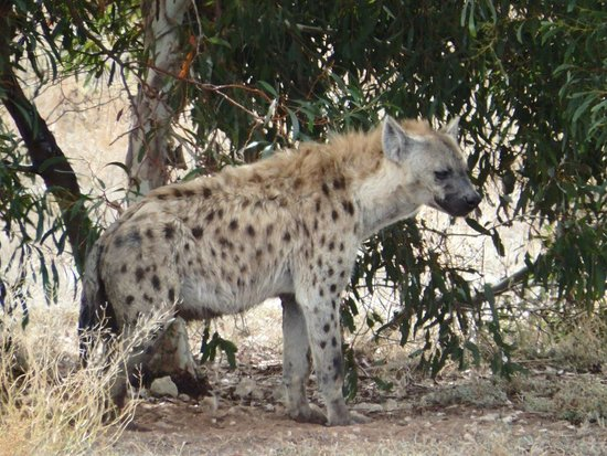 Australia Meridional, Australia: Spotted hyena as viewed from the viewing deck