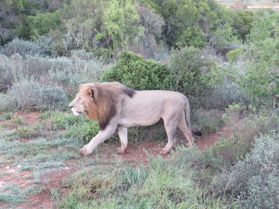 Shamwari Game Reserve, South Africa: He just appeared