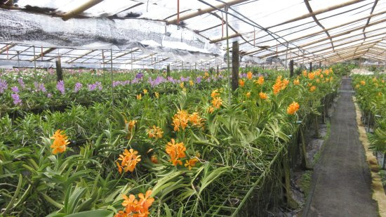 Phuket Orchid Farm : Under-cover area