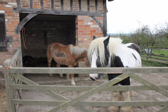 Martock, UK: Friendly horses and a pig in the farm courtyard