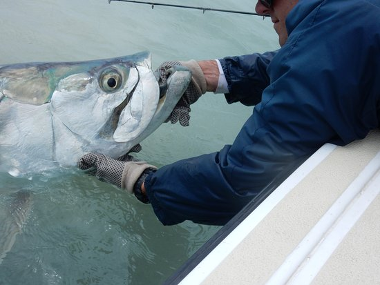 High Tide Adventures: Capt. Nat lips the 140 lb tarpon after 1.5 hour fight!