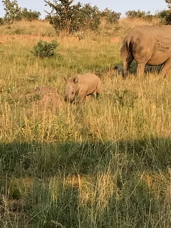 Makweti Safari Lodge: Rare signt of a baby rhino