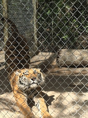 Octagon Wildlife Sanctuary And Rehabilitation Center: Doing a little Tiger yoga and Cinnamon was in a posing mood!