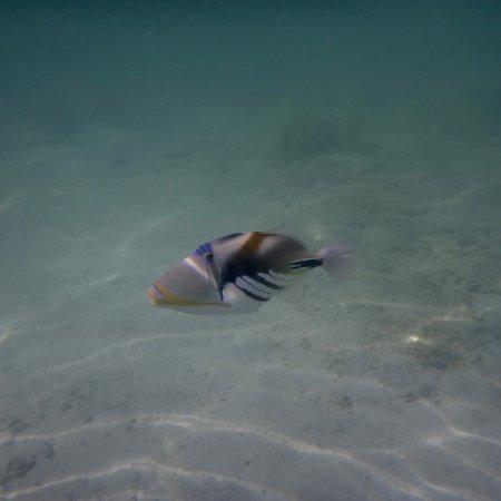 Titikaveka, Cook Islands: Lagoon triggerfish (Picasso fish)