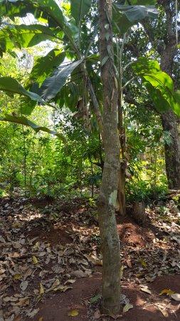 Tropical Spice Plantation: Cinamon tree