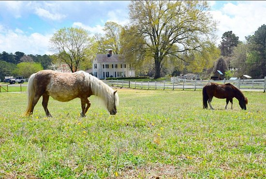 Chapel Hill, Carolina del Norte: Beautiful ponies in front of the 1870 farm house!