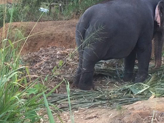 Kegalle, Sri Lanka: 2nd elephant chained up