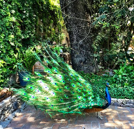 The Peacock Garden : The Peacoks roam all around