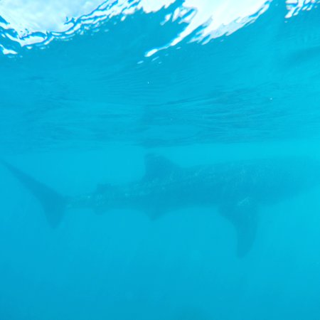 Cabo Excursions: We were driven to La Paz where we saw awesome Whale Sharks.