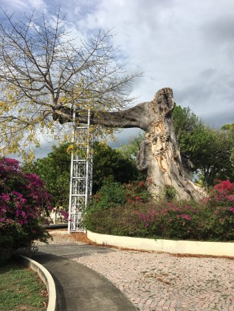 Parque de la Ceiba: Sad state of one of the oldest Ceiba trees in Ponce