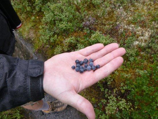 Fresh blueberries everywhere at Wonder Lake Campground