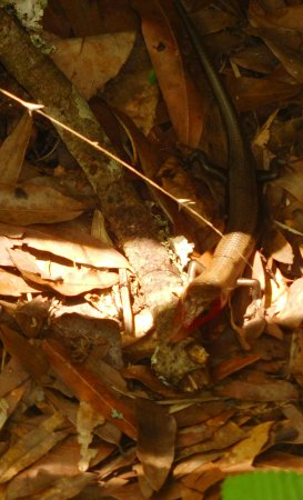 Pasadena, Teksas: lizard--or skink?--near boardwalk