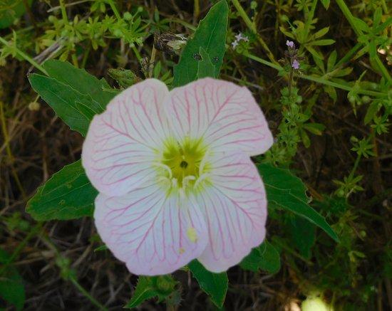 Pasadena, TX: Nice wildflower @ ABNC