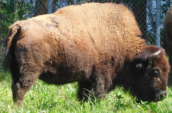 "Pasadena, Teksas: Bison (no--not ""buffalo""!)"