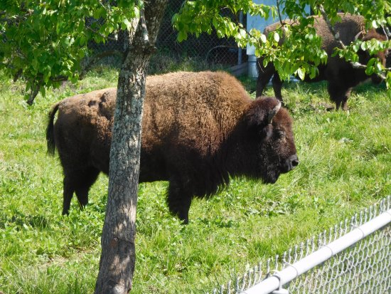 Pasadena, TX: Bison poses for his portrait