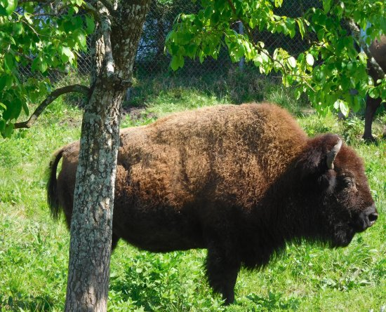 Pasadena, TX: Bison poses for his portrait--again