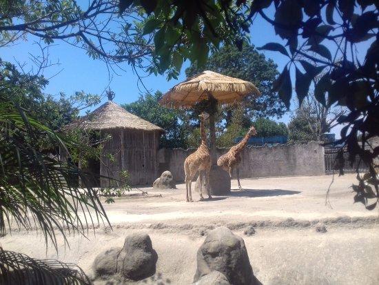 La Aurora Zoo: Jirafas