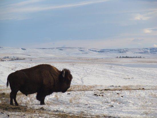 Longview, Canada: Local Bison Ranch
