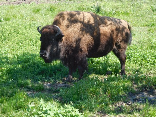 "Pasadena, TX: Bison poses for his portrait (He said, ""Really, this is my good side."""