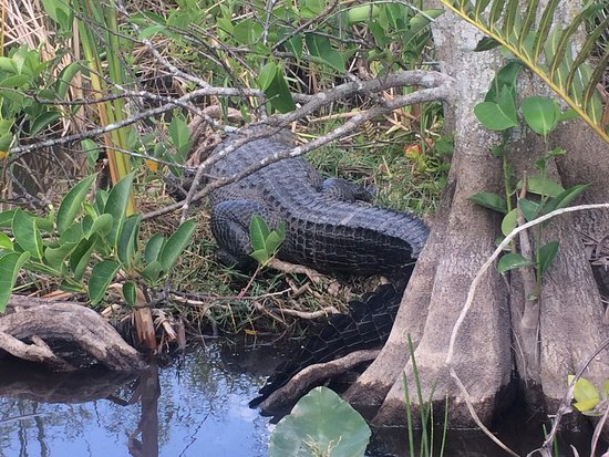 Gator Park: Saw a mama gator during the airboat ride.