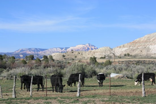 Bryce Canyon Inn: Cattle on lower part of property