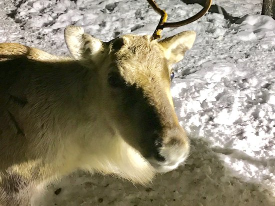 Sinetta, Finland: They have a couple of reindeer on site