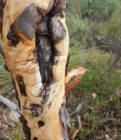 John Forrest National Park: Gnarly trees