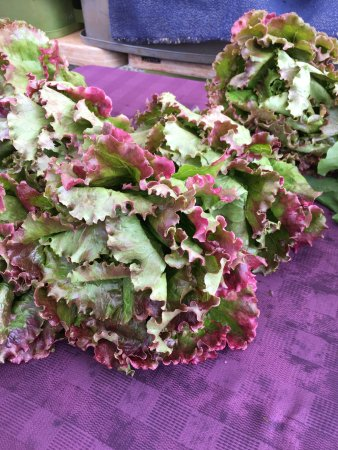 Hanalei, HI: Lettuce Tipped in purple by Mother Nature