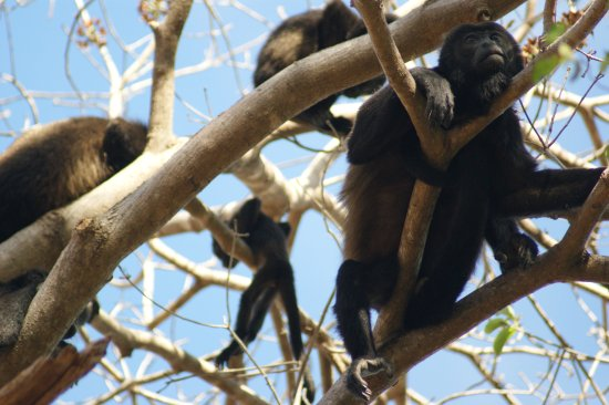Rancho Armadillo Estate: Family of howler monkeys climbing trees in early morning at Rancho Armadillo