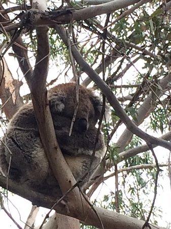 Cowes, ออสเตรเลีย: Sleepy koala