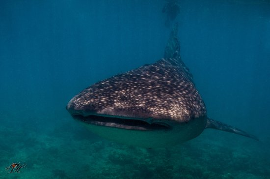 Derawan Islands, Indonesia: Whale Shark - Early Morning Snorkel trip - Scuba Junkie Sangalaki