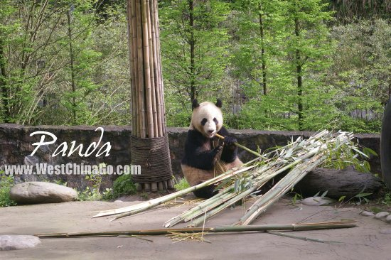 Should I Book Panda Tour Chengdu