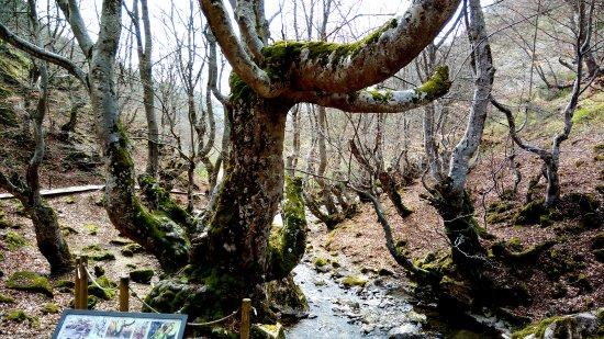 Bosque del Faedo: Fagus, la haya más antigua del bosque, tiene unos 500 años
