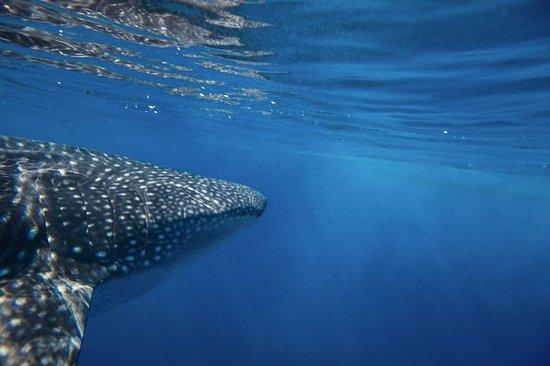 Osa Peninsula, Costa Rica : Surprise! Pas farouche, il nous a rendu visite en début et en fin de plongée.