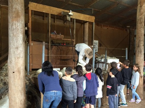 Phillip Island, Australien: Sheep shearing