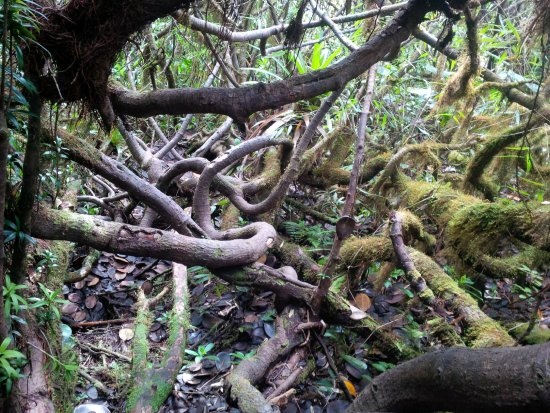 Northern Forest Reserve, Dominica: Roots