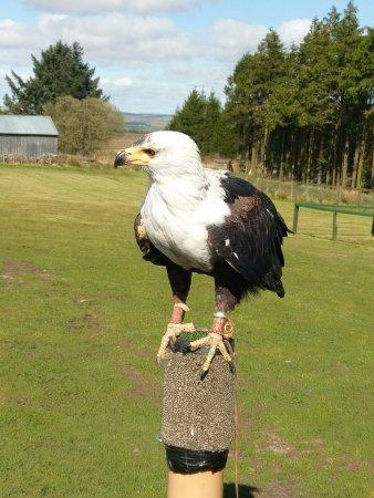 Hexham, UK: Zambezi the African Fish Eagle