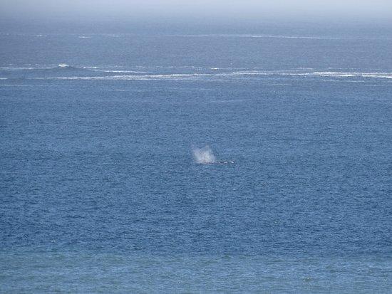Humbug Mountain State Park: Grauwale in der Ferne