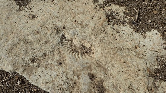 Denison, TX: You literally trip over fossil remains!