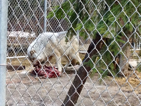 Golden, Kanada: A bit gruesome, but that's life when you're housing wolves!
