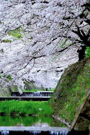 Nishinomiya, Giappone: 川沿いの桜