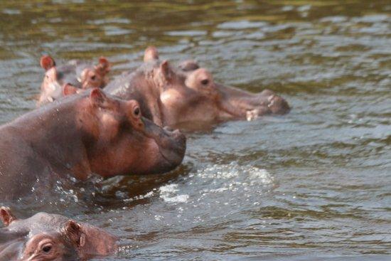 Murchison Falls National Park, Uganda: HIPPO