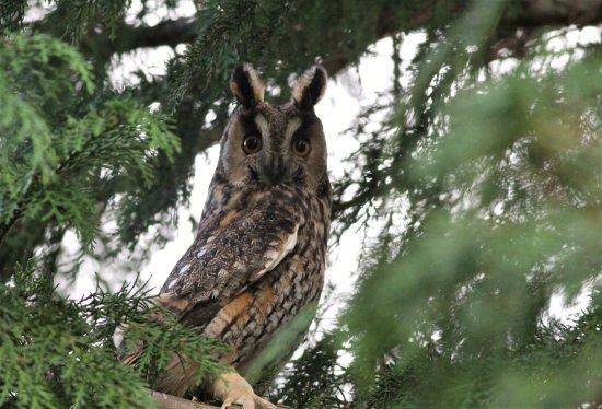 long eared owl picture of gerbybirding sao miguel tripadvisor