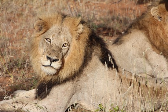 Naledi Bushcamp and Enkoveni Camp: LION