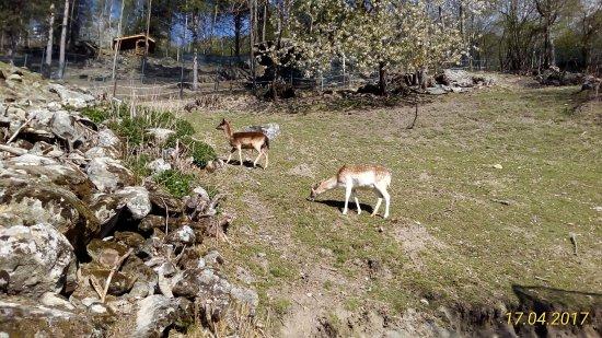 Champdepraz, Italia: Daini
