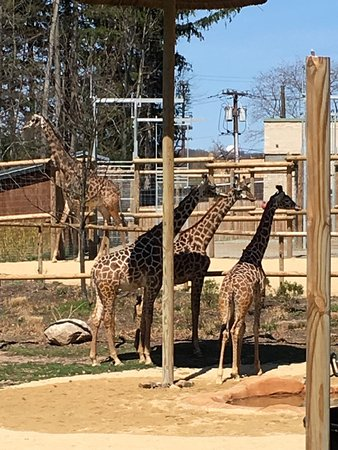 West Orange, NJ: The Giraffes