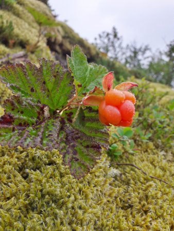 Risoyhamn, Norway: Cloudberry
